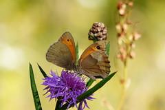 (evisdotter) Tags: gräsfjärilar fjärilar butterflies insects nature macro bokeh sooc flower blomma tistel thistle ngc coth5