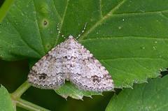 Mesotype didymata; Twin-spot Carpet (urmas ojango) Tags: lepidoptera liblikalised insecta putukad insects moth vaksiklased geometridae nationalmothweek mesotypedidymata twinspotcarpet