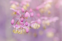 Thalictrum III (paulapics2) Tags: thalictrum flower fleur floral closeup macro july summer outdoor mauve pink hydehallgardens sweet soft pastel plant nature garden canoneos5dmarkiii sigma105mmf28exdgoshsmmacro rhshydehall depthoffield bokeh