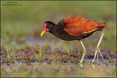 Wattled Jacana (Jacana jacana) (Glenn Bartley - www.glennbartley.com) Tags: animal animalia animals atlanticrainforest aves avian bird birdwatching birds brazil glennbartley nature neotropical pantanal rainforest southamerica wattledjacanajacanajacana wildlife