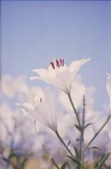 盛夏 (あおい.) Tags: japan nature summer flower lily 日本 自然 夏 花 百合 film pentaxsp
