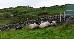 De schaapjes worden de kooi in gedreven