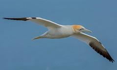DSC0145  Gannet.. (jefflack Wildlife&Nature) Tags: gannet gannets birds avian animal wildlife wildbirds gulls shorebirds seabirds countryside coastalbirds bempton yorkshire nature cliffs