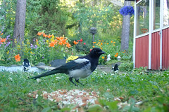 Magpies watching me (talaakso) Tags: finland hyvinkää olympus olympustoughtg5 picapica tg5 toughtg5 terolaakso backyard blommor flowers harakka kukat magpie skata takapiha talaakso creativecommons attribution