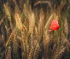 Scattered Exceptions (Robyn Hooz) Tags: poppy wheat grano doro campo field spighe padova papavero pane bread us you