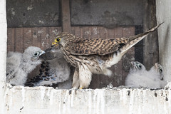 unsuccessful attempt to gulp down a whole mouse (the-father) Tags: falcon baby mom mouse
