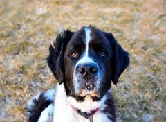 A Little Spittle (LupaImages) Tags: samson dog face spittle spit drool animal pet fur