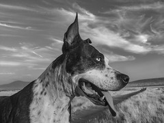Cleo (Cruzin Canines Photography) Tags: summer iphone6plus iphone monochrome blackandwhite naturallight nature outdoors outside female girl cleo cleopitra pretty cute closeup portrait pitbullterrier americanpitbullterrier terrier pitbull pit pets pet domestic dogs dog canine animals animal