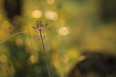 Alito. (3) (SimonaPolp) Tags: garlic flower wildflower bokeh july summer summertime macro light sunset nature purple gold wood forest