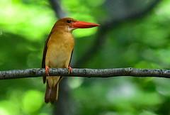 A ruddy kingfisher in a beech forest (2) (takashimuramatsu) Tags: ruddy kingfisher halcyoncoromanda ruddykingfisher beech forest japan nikon d500 アカショウビン