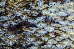 skin of salmon - macro mondays (texture) (vinsebecker) Tags: memberschoicetexture macromondays textur salmon lachs