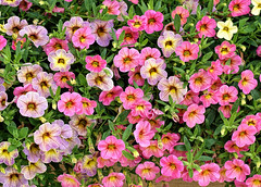 mini petunias (*Millie*-Trying to catch up, slowly!) Tags: minipetunias colorful mouth teeth summer leaves outdoors hersheygardens hersheypa nature plants