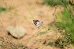 Delight (sauremmanuel) Tags: butterflies papillons nature green flower prairie herbs fleur jaune vert blanche noire vol