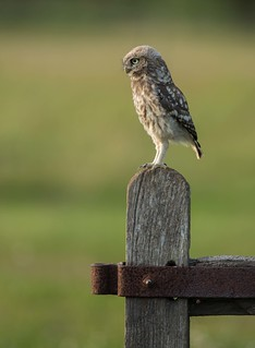 Little owl chick (Athene noctua)