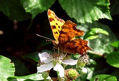 Comma - Polygonia c-album (Hornbeam Arts) Tags: butterfly insect