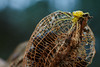 Yellow orbweaver spider