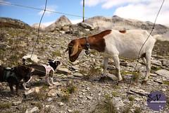7*12 months of Elliott & Tootsie - Improbable encounter (sgv cats and dogs) Tags: 12monthsfordogs17 encounter goat mountain switzerland meet greet elliotttootsie
