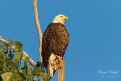 Bald Eagle basks in the golden light after sunrise