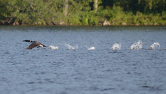 Loon Take-off (rochpaul5) Tags: loon clear wilderness nature ornithology bird adirondack adk ny new york