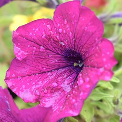 After the rain (MJ Harbey) Tags: petunia flower garden plant pinkpetunia pink waterdroplets