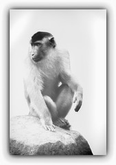 Observator (Sakerfalke) Tags: sakerfalkefotografie schweinsaffe macacanemestrina primat bearbeitung rahmen zoomerlebniswelt highkey