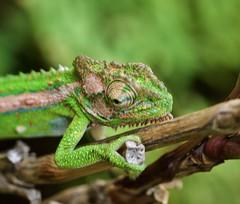 Cape Dwarf Chameleon (PJD-DigiPic) Tags: green chameleon cape dwarf chameleonreptilecape townpanasonic lumix gh3lumix camerasouth africa fauna capedwarfchameleon