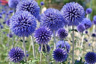 Echinops Ruthenicus, ( Southern Thistle )