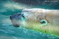 Polar Bear Swimming (Sage Girl Photography) Tags: polarbear bear wild captivity zoo nczoo water swimming closeup asheboro northcarolina summer july sagegirl nikond3300