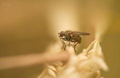 In the warm grass (John Joslin) Tags: insect fly grass macro closeup little small blur focus warm wings summer