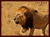 KING OF THE JUNGLE (Panthera leo)....MASAI MARA......SEPT,2016 (M Z Malik) Tags: nikon d3x 200400mm14afs kenya africa safari wildlife masaimara keekoroklodge exoticafricanwildlife exoticafricancats flickrbigcats lionking leo ngc