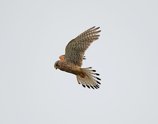 Hovering Male Kestrel