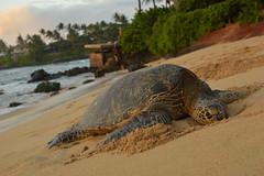 Claiming a spot on the beach (radargeek) Tags: hawaii maui isleofmaui paia beach palmtree turtle