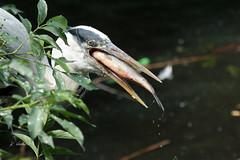 Heron with lunch (K.Verhulst) Tags: heron blauwereiger grey greyheron blueheron reiger birds vogels fish vis