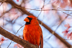 Cardinal in Spring (Two Pine Trees Photography) Tags: northcarolina birds male cardinal wildlife spring nc