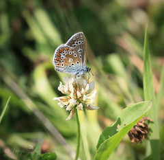 Common blue-explored 24.7.17 #483 (~ **Barbara ** ~) Tags: butterfly commonblue tiny small clover wildlife insect macro wildflower spots canon7dii explored