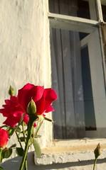 """""""Dünya bir gül çiçeğidir, koklayın ve arkadaşlarınıza uzatın."""" (İran Atasözü)  """"The world is a rose flower, smell it and stretch out your friends."""" (Persian Proverb)  #photography #nature #flower #red #rose #denizli  #cal #develli  #mycamera #benimkadraji (mrbrooks2016) Tags: freeart instalike myartgalery flower likeforlike photography objektifimden mycamera instaart myart instaartist instagood develli red nature instagram like4like denizli rose kadraj benimkadrajim likeforfollow objektif cal travel"""