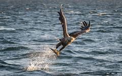 Havørn-0429 (jarud) Tags: 2017 eagle fugl havørn naturopplevelser norge norway smøla whitetailed ørn