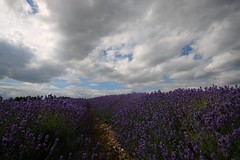 Cotswolds Lavender (Taracy) Tags: lavender cotswolds farm flowers scent england clouds sky