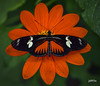 Doris Longwing (jt893x) Tags: 105mm afsvrmicronikkor105mmf28gifed butterfly d810 dorislongwing heliconiusdoris insect jt893x longwing macro nikon flower