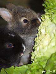 est200690 (Protty coniglio nano) Tags: coniglio conigli protty bunny bunnies rabbit rabbits kaninchen lapin coniglietti coniglionano prottyit coniglinani oryctolagus oryctolaguscuniculus