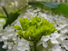 (Iggy Y) Tags: hydrangeamacrophylla hydrangea macrophylla spring blossom flower white color flowers green leaves nature park garden plant velelisnahortenzija hortenzija bigleafhydrangea hortensia day light