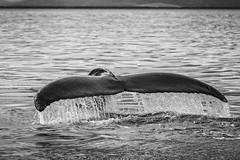 Humpbacktail (Role Bigler) Tags: buckelwal canoneos5dsr ef4070200isusml humpback husavik iceland island meer natur nature sea wasser fluke marinemammal meeressäuger nordatlantik northatlantic tail wal whale