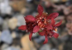?? Elle se trouve à 3005 mètres (bulbocode909) Tags: fleurs valais suisse valdanniviers valdetourtemagne coldesarpettes montagnes nature rouge altitude