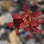 saxifrage, 3005 mètres thumbnail
