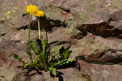 Lichen and Dandelions (arbyreed) Tags: arbyreed dandelion lichen rock rocklichen flower yellow red green uintas uintamountains summitcountyutah
