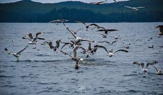 Gulls attacking a bait ball at Langara Island, Haida Gwaii