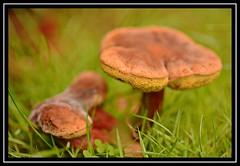 """Fungal"" (NikonShutterBug1) Tags: macro closeup nikond7100 tamrom 60mm toadstool mushroom fungus spore nature wildlife spe smartphotoeditor"