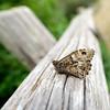 20170713_124121-X-T2-6206.jpg (Erwin Schoonderwaldt) Tags: netherlands castricum dunes butterfly