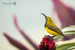 Olive-backed sunbird (Jennie Stock) Tags: olivebackedsunbird farnorthqueensland daintreevillage nectariniajugularis