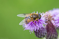 IMG_9867 (padraig thornton) Tags: bee wings wildlife nature flower insect colorful close up macro unlimited purple canon 7d 100mm padraig thornton ireland dreams greatphotographers animal bright organic pattern serene outdoor photo border depth field landscape macrounlimited macrodreams green